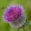 Honeybee on thistle — Stock Photo