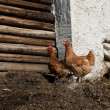 Two chicken in barnyard manur — Stock Photo