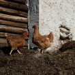 Stock Photo: Two chicken on barnyard manur