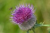 Honigbiene auf distel — Stockfoto