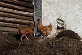 Two chicken on barnyard manur — Stock Photo