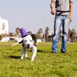 Pitbull dog running after its chew toy — Stock Photo #22381085