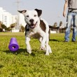 Pitbull Running after Dog Chew Toy — Stock Photo #22381087