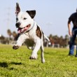 Mid-Air Running Pitbull Dog — Stock Photo