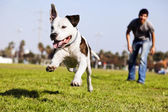 Cachorro de pitbull executando mid-air — Foto Stock
