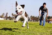 Mitten in der luft ausgeführten pitbull hund — Stockfoto