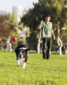 Border Collie Catching Dog Ball Toy at Park — Stock Photo