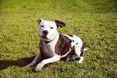 Pitbull Dog Sitting on Lawn — Stock Photo