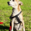 Pinscher Dog Portrait at the Park - Stock Photo