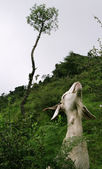 Goat Stretching for Food — Stock Photo