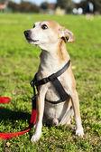 公園で犬の肖像画を・ ショートヘアード ・ ピンシャー — ストック写真