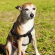 Pinscher Dog Portrait at the Park — Stock Photo
