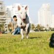 Bull Terrier Running for Chew Toy in Park — Stock Photo
