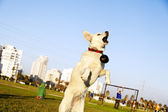 Labrador Jumping After Chew Toy in Park — Stock Photo