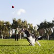 Border Collie Fetching Dog Ball Toy at Park — Stock Photo #22411403