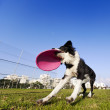 Border Collie Catching Dog Frisby Toy at Park — Stock Photo #22411409