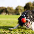Border Collie Fetching Dog Ball Toy at Park — Stock Photo #22411453