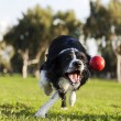 Border Collie Fetching Dog Ball Toy at Park — Stock Photo #22411477