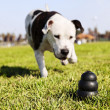 Running to Dog Toy on Park Grass — Stock Photo