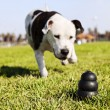 Running to Dog Toy on Park Grass — Stock Photo #22418375