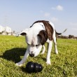 Pitbull Dog with Chew Toy at Park — Stock Photo #22418489