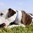 Pitbull Dog with Chew Toy at Park — Stock Photo #22418601
