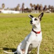 Mixed Jack Russel Portrait in the Park — Foto de Stock