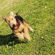 Stock Photo: Airdale Terrier Dog Running with Chew Toy at Park