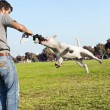 Royalty-Free Stock Photo: Bull Terrier Mid-Air in Park