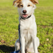 Mixed Breed Dog Portrait in the Park — Stockfoto