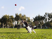 Border Collie Fetching Dog Ball Toy at Park — Stock Photo