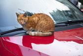 Cat on da Hood — Stock Photo