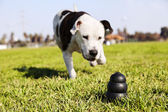 Running to Dog Toy on Park Grass — Stok fotoğraf