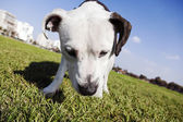 Tilted wide angle view of a Pitbull looking down — Stock Photo