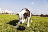 Pitbull Dog with Chew Toy at the Park — Stock Photo