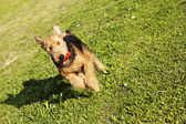 Airdale Terrier Dog Running with Chew Toy at the Park — Stock Photo