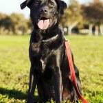 Mixed Labrador Dog Portrait at the Park — Stock Photo #22420013