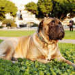 Bullmastiff Portrait in Urban Park - ストック写真