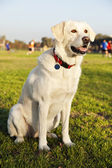 Mixed Labrador Dog Portrait at the Park — Stock Photo