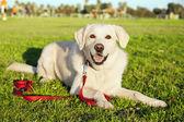 смешанные портрет собаки лабрадора в парке — Стоковое фото