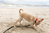 Puppy Digging at the Beach — Stock Photo