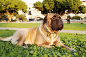 Bullmastiff Portrait in Urban Park — Stock Photo