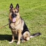 German Shepherd Dog Portrait at the Park — Stock Photo #22431887