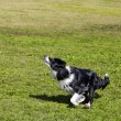 Border Collie Dog Jumping for a Toy in Park — Stock Photo