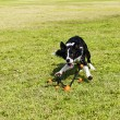 Border Collie Fetching Dog Toy at Park — Stock Photo #22431927