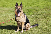 German Shepherd Dog Portrait at the Park — Stock Photo