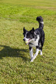 Border Collie Dog with Tennis Ball at Park — Stock Photo