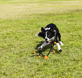Border Collie Fetching Dog Toy at Park — Stock Photo