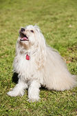 Toy Poodle Dog Portrait in the Park — Stock Photo