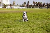 Happy Pitbull at the Park — Foto de Stock
